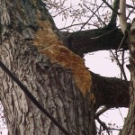 Avoid trees with fungal growths or near power lines.